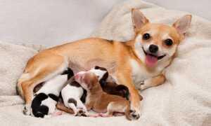 Вагітність собаки по днях докладно: ознаки на ранніх термінах, як визначити в домашніх умовах, скільки місяців триває